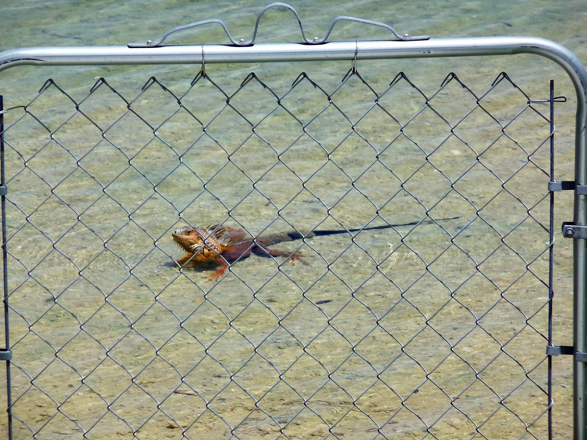 iguana lake