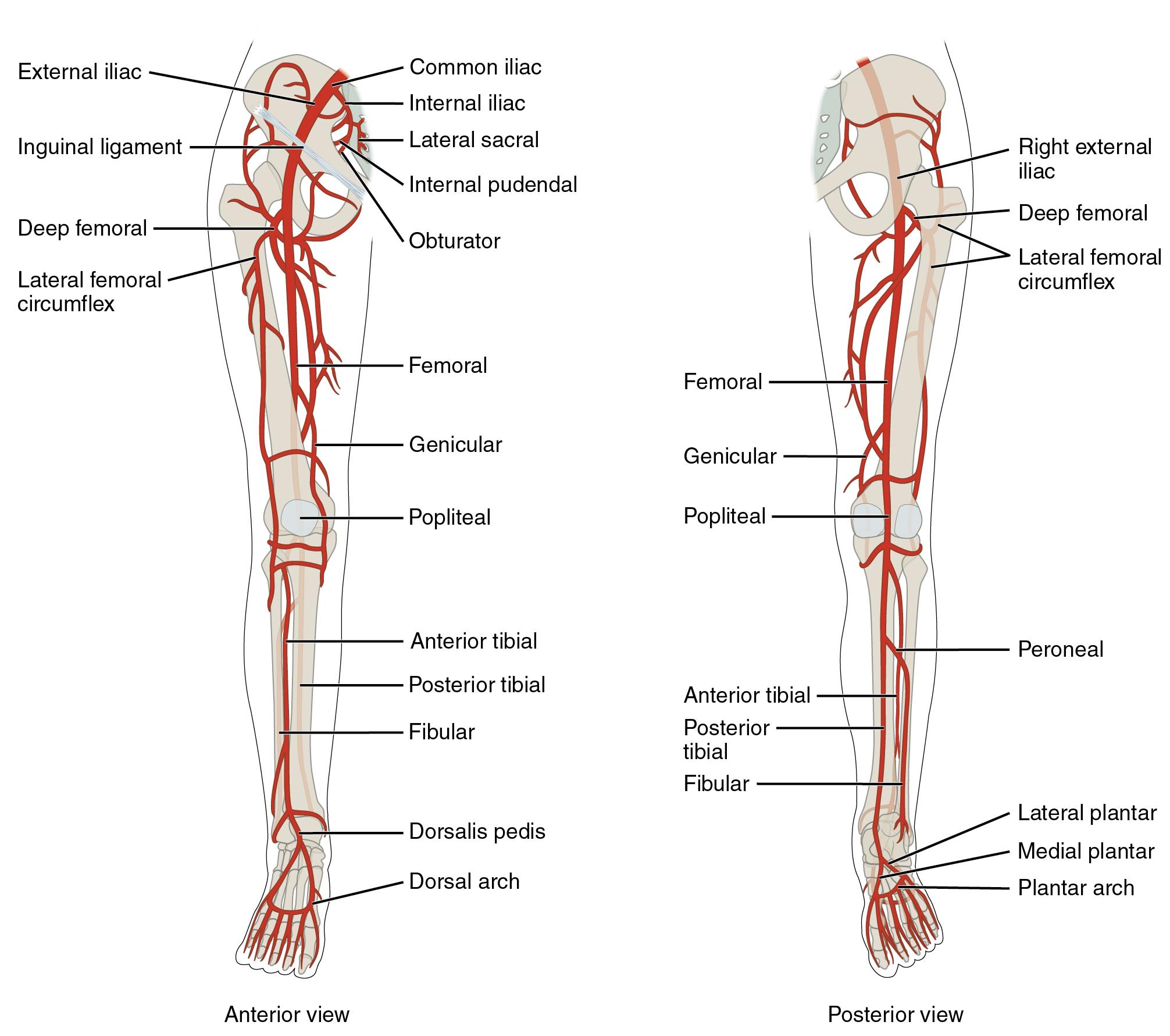 leg-arteries